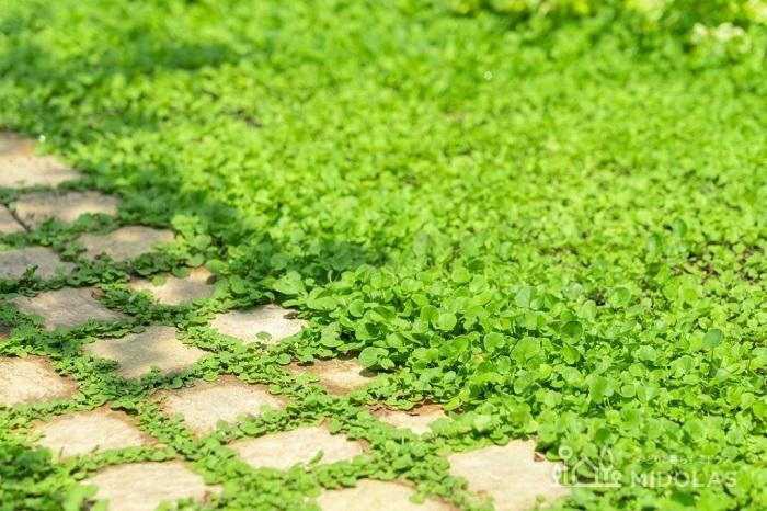 ディコンドラは雑草対策のグランドカバーとしても大変人気があります。踏まれた場所は細かな密の葉が茂るようになり、踏まれない場所は大き目の葉がふんわりと育つ性質があり、多少踏まれてもへこたれません。グランドカバーとしてお庭で育てると、葉の大きさや茂り具合が場所によって変わるので、同じ植物が一面にあっても暑苦しくなくナチュラルな空間をつくることができます。  ディコンドラは、どちらの種類も種から育てられます。緑葉のミクランサ種の種は、造園用の大袋も流通しています。  ディコンドラの種まきの適期は春または秋です。春にまいた方が、生長の勢いが良いので育てやすいです。秋に種をまく場合は、発芽したばかりの芽が霜に当たると枯れてしまうので、寒くなる前に、しっかりと生えそろって根付いている状態をつくっておきましょう。  ディコンドラはポットにまいても、お庭や花壇に直接まいても育てられます。直接まく際は、種をまく場所をよく耕して腐葉土を混ぜ込み、整地してからまきます。種をまいたら軽く土をかぶせ、発芽するまでは乾かないように毎日水やりを行い、ディコンドラにまぎれて雑草が生えてきたら雑草のみ取り除きましょう。