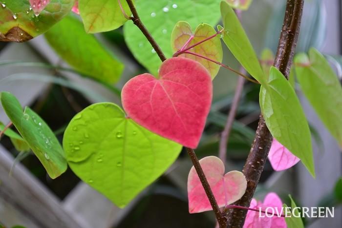 新芽が芽吹いた頃の若葉の色、夏の青葉もとても美しいマルバノキですが、秋の紅葉も目を引く美しさです。  1年を通して見どころのある姿、自然樹形で育ち手入れが簡単な低木のため、最近の植栽によく使われ、シンボルツリーとしても人気がある庭木です。