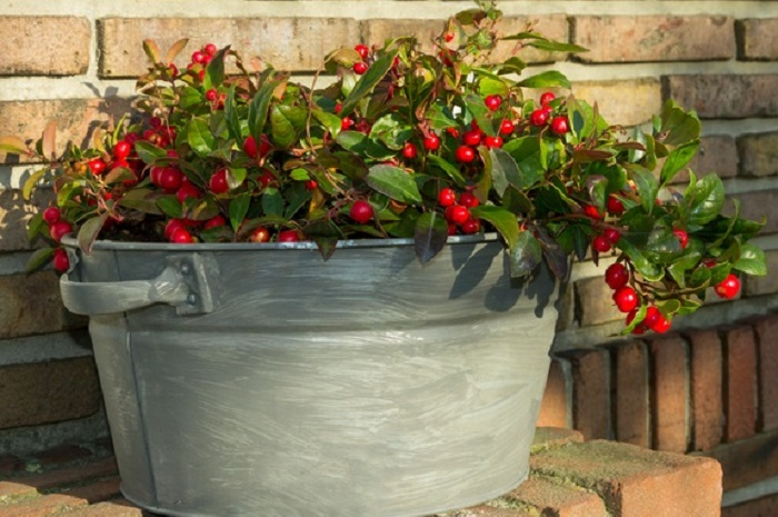 チェッカーベリーは、初夏から夏に白い釣り鐘形の花を咲かせ、秋に赤い実をつける低木。草丈が低くこんもりと茂り、華やかな実が冬の間中楽しめるので、秋から冬の寄せ植えにぴったりです。光沢のあるグリーンの葉が、寒くなると少しずつ赤銅色に変わっていく姿からも秋を感じることができます。