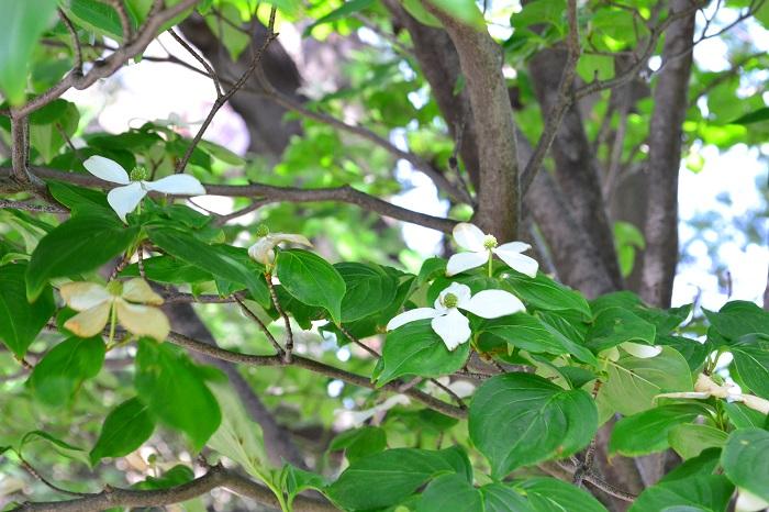 自然樹形が美しく、手間がかからないヤマボウシはシンボルツリーにおすすめの庭木です。大きく広げた枝の先に一面に咲く花も美しく、見ごたえがあります。夏は青々とした葉が日陰を作り、秋には果実の収穫と紅葉と、一年を通して家族で楽しめる木です。常緑種を選べば、お庭の目隠しの役割も果たしてくれます。