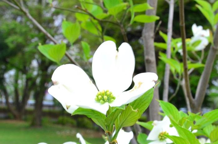 ハナミズキは東京がアメリカに桜を贈った返礼として送られてきた花木です。