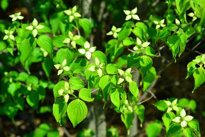 ヤマボウシはあまり手間がかからず育てやすいので庭木として人気です。ヤマボウシの育て方を紹介します。