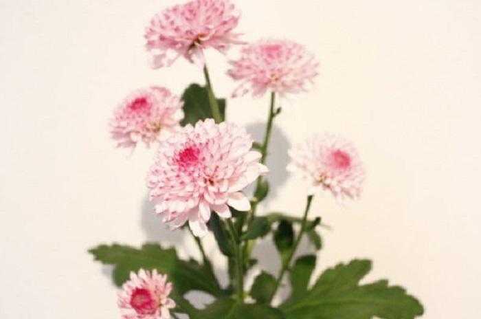 ポットマムは鉢植え(ポット)のキク。鉢植え向きの矮性園芸品種として改良され、ポットマムという名がつけられました。キク本来の特徴として、日が短くなると蕾をつけて花を咲かせる性質をもっているため、秋になると美しく咲きます。照明が夜中ついている場所では蕾をつけないことがあるので気を付けてあげましょう。