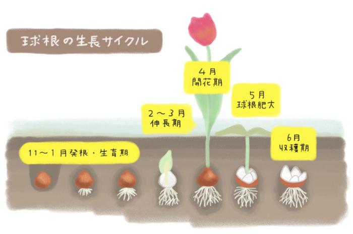 失敗しない球根栽培 3つのポイント