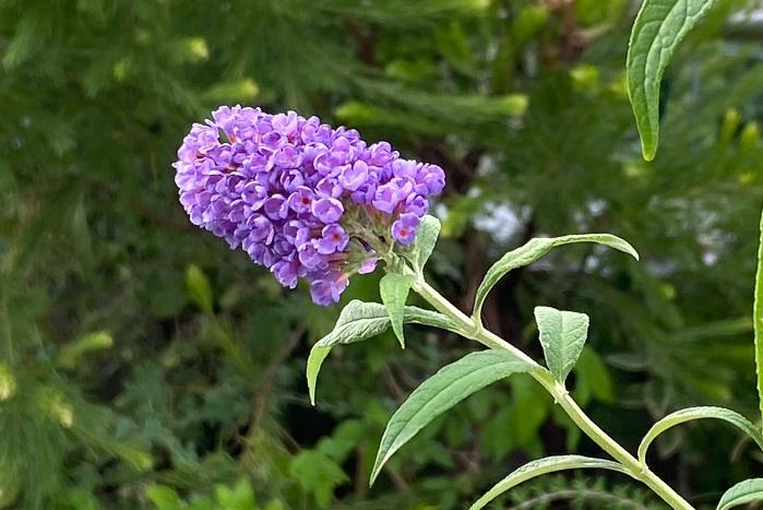 ブッドレアの花は、小さな花が無数について円錐の形になります。花はいっぺんには咲かず、下の方から上に咲き進みます。