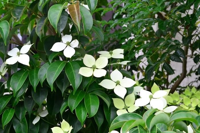 ヤマボウシの花が咲くのは初夏、6~7月頃です。春が過ぎ、濃いグリーンの葉が出揃った頃に、高木の上の方の枝に白やピンクの花を咲かせます。グリーンの葉の間に浮かぶように咲くヤマボウシの花は、遠くから眺めるととても見事で見惚れるほどです。