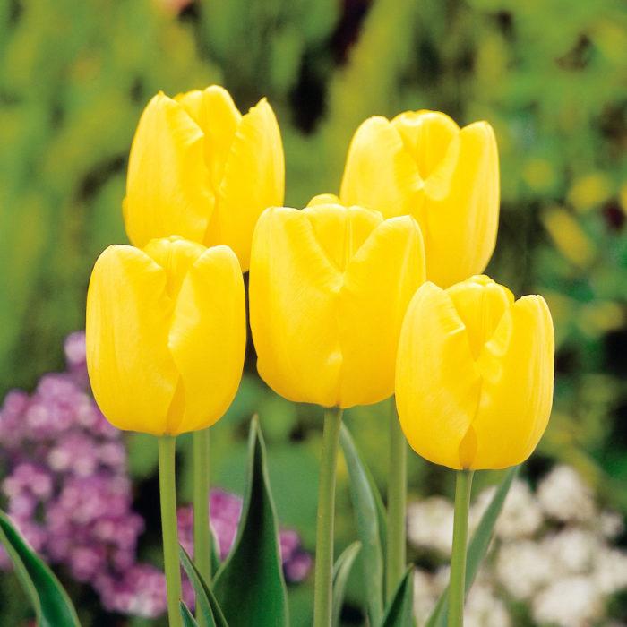 富山を代表するチューリップ<span>品種「黄小町」は球根生産性、耐病性、花持ち性抜群。育てやすいオーソドックスなチューリップを探している人におすすめです。