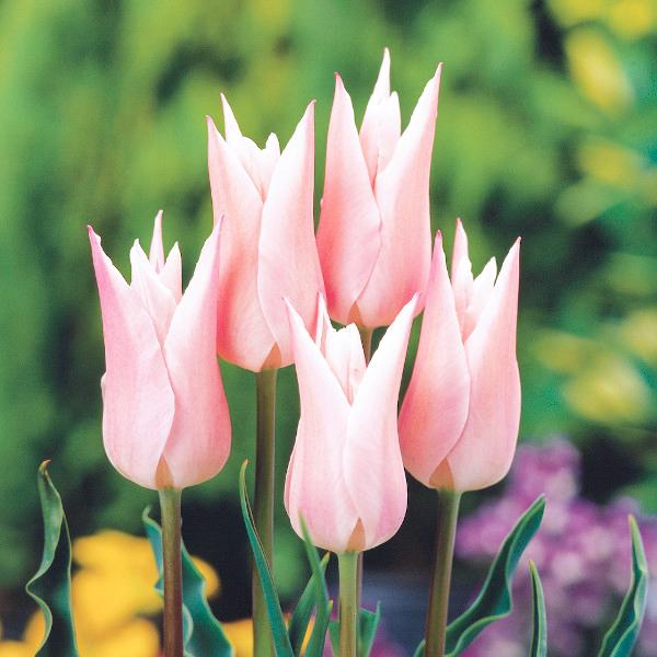 富山オリジナルのチューリップ。桜色のやさしい雰囲気が人気のユリ咲きです。