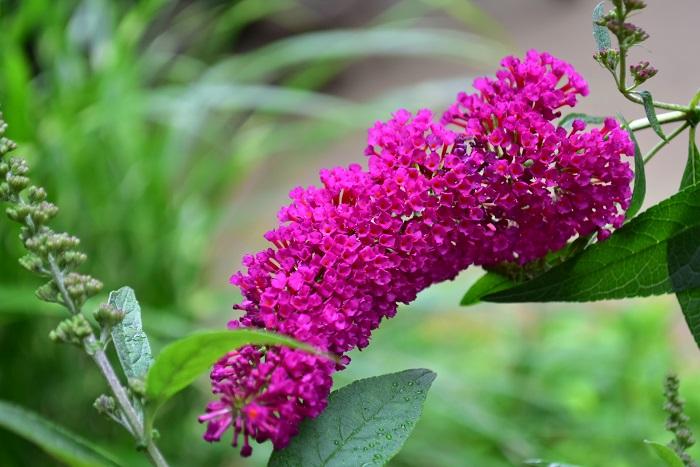 ブッドレア基本情報 植物名:ブッドレア 学名:Buddleja davidii 和名:房藤空木(フサフジウツギ) 別名:バタフライブッシュ 科名:ゴマノハグサ科 属名:フジウツギ 分類:落葉低木 花期:7月~10月