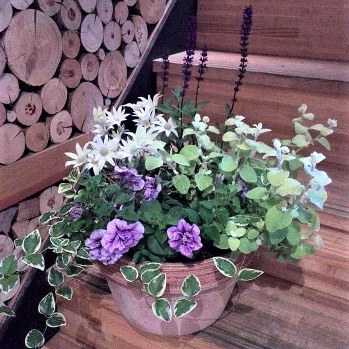 フランネルフラワーは、高温多湿に弱く乾燥気味を好むのですが、完全に乾くと枯れてしまう少しデリケートな植物です。鉢植えで育てる場合、少し大きめの鉢に他の草花と一緒に寄せ植えしておくと鉢の中の土の量が多くなる分乾燥しにくくなったり、水やりもいっぺんで済むのでおすすめです。