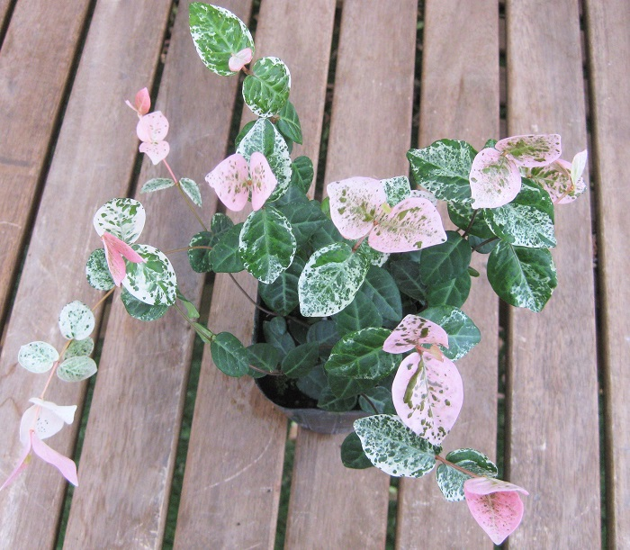 ハツユキカズラは新しい葉にピンク色と白の斑が入る姿が美しい植物。斑の入り方は生長するにしたがって変化し、新芽は濃いピンク色。だんだんピンク色が薄くなっていき、緑色に白の斑が入るようになり、やがて緑色になります。寒くなってくると紅葉する様子も美しいです。暑さ寒さに強く耐陰性もあり、とても丈夫です。
