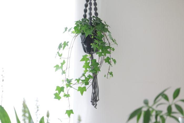 お部屋を彩るインテリアグリーンとしても大活躍するアイビー。下に垂れ下がるように生長するため、高さのある所から吊るして生長する様子を楽しむのもいいですね。