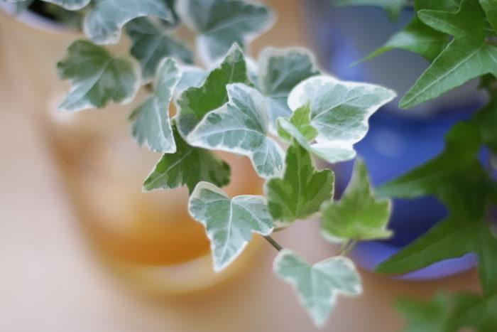 葉の模様や形、色の種類が豊富なアイビー。斑入りやマーブル模様、形が一風変わった葉まで様々。そのため花の寄せ植えのアクセントに使用されることも。インテリアや雑貨とも相性抜群なので、室内で楽しむのにもぴったりなインテリアグリーンです。