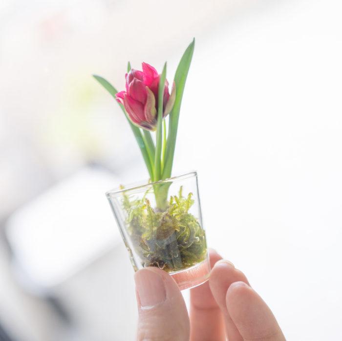 フランス語で秘密のおしゃべりを意味する「テタテ」。親指サイズのとっても愛らしいチューリップです♪ 鉢植えはもちろん、水を張ったガラス容器にちょこんと入れて楽しむのもおしゃれですよ。