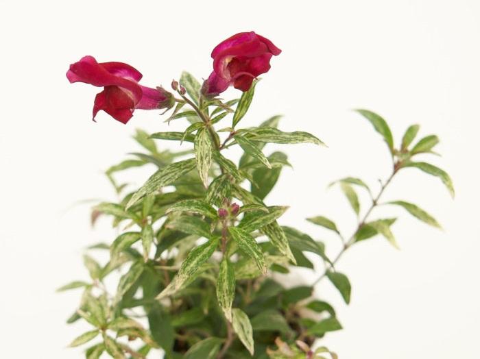 キンギョソウは本来は5月頃が開花の盛期で、夏の暑さに弱いため日本では一年草として扱われることが多かった植物です。品種改良により、秋にも咲くタイプやダークな葉、斑入りの葉の品種も増えています。耐寒性があるので、シックな色のキンギョソウは秋の寄せ植えにぴったりです。