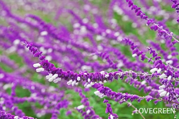 アメジストセージは、ふわふわとした質感の花姿が人気の多年草。実は、秋に楽しむベルベットのような質感の部分は花ではなくガクです。花は、ガクから突き出すようにして咲きます。薬効のあるセージとは異なり観賞用のセージとして親しまれています。シルバーグリーンの葉もとても美しいです。