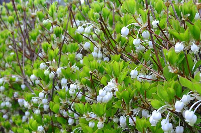 花期:4月~5月 樹高:2m~5m ドウダンツツジは春に白いスズランのようなつぼ型の花を咲かせる落葉樹です。秋に真赤に紅葉する葉も魅力です。刈り込みにも耐えるので、生垣としても人気があります。