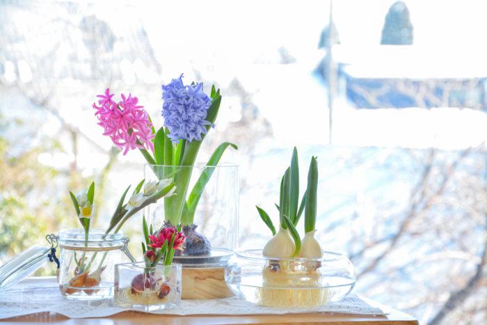 球根で最近特に人気なのが水耕栽培。定番のヒヤシンスをはじめ、チューリップ、ムスカリ、スイセン、クロッカスなどいろいろな球根がお部屋で育てることができます。ヒヤシンスは開花すると甘い香りが部屋に漂うのも人気ポイントです。水耕栽培用の可愛いガラスベースも売っていますし、身の回りにあるジャムの空き瓶やプラスチックカップなどを応用して育てることもできますよ。