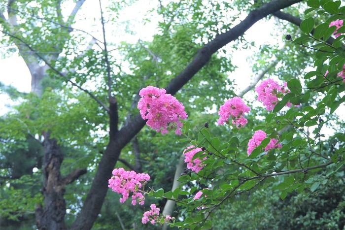 サルスベリ(百日紅)の英語の名前を紹介します。  英名:Crape myrtle(クレープマートル) マートルは光沢のある葉が特徴的な常緑樹です。ハーブの1種としても有名です。常緑でもなければハーブでもないサルスベリ(百日紅)になぜマートルの名が付いたのかは不明ですが、響きが可愛らしい英名です。