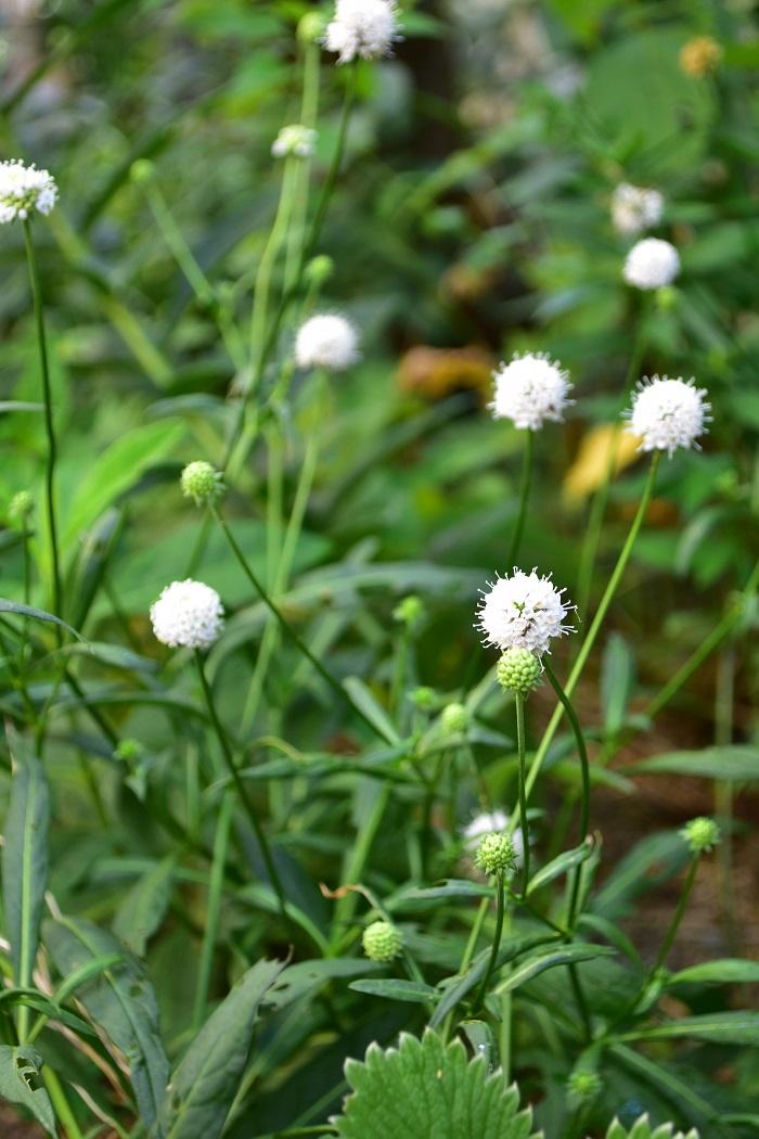 丈は60~80cm、環境によっては1m近くになります。株の横幅も50cm以上になるので、広い空間や花壇の後方に植栽するととても見栄えがして素敵です。