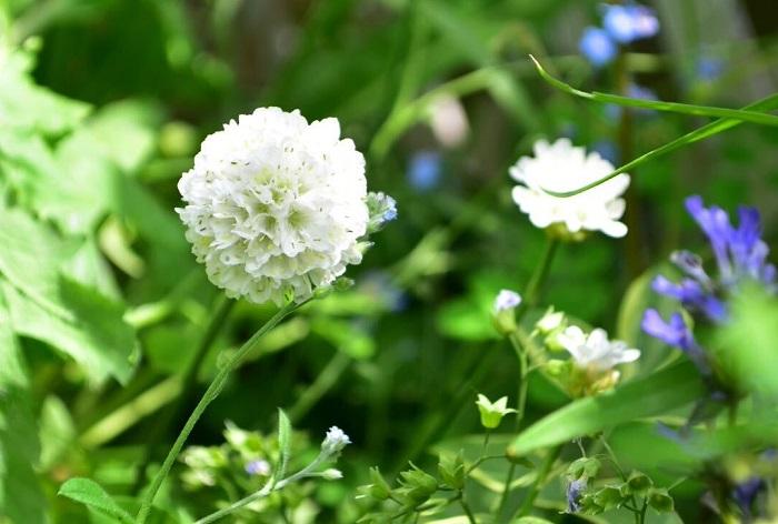 サクシセラ・フロステッドパールズは、マツムシソウの仲間の耐寒性のある宿根草です。花は小さな球状の花が夏から秋まで長くたくさん開花します。暑さにも強く、真夏でも休みなく開花します。生長丈は60~80cm、環境によっては1m近くになります。横幅も50cm以上になるので、広い空間や花壇の後方に植栽すると見栄えがします。