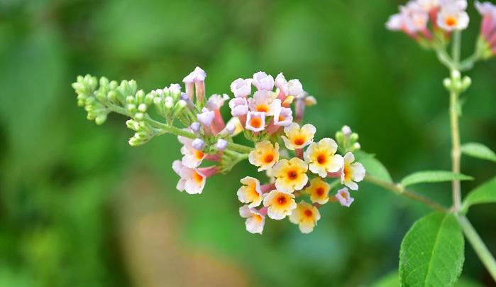 ブッドレアは夏の厚い陽射しになかで、涼しいげな花を咲かせる植物です。風を感じさせるような草姿に涼を覚えます。