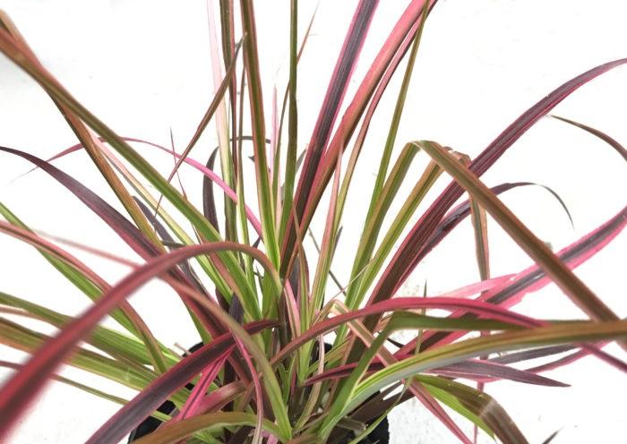 ペニセツムは、猫じゃらしのような穂が風に揺れる草姿が美しいグラス類。草色は明るいグリーンから濃いグリーン、銅葉まで様々あります。寄せ植えの背景となり、秋の風情を感じさせてくれます。
