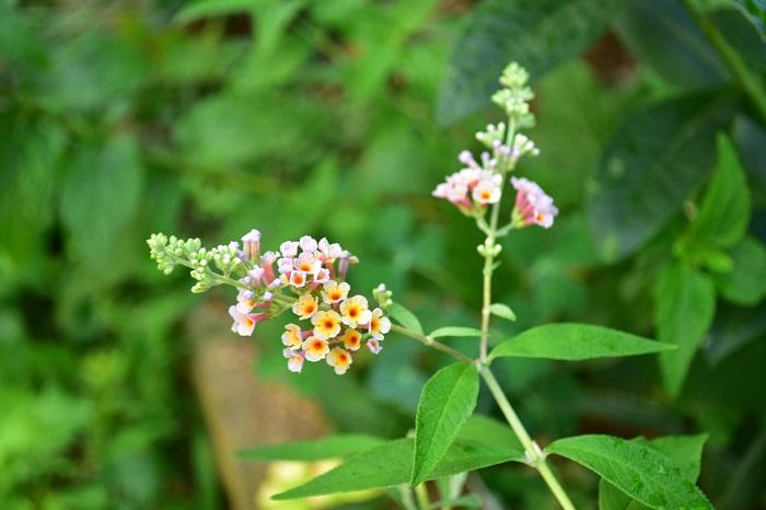 毎年の剪定さえしていれば手入れがとても簡単なブッドレア。夏に長く花が咲く庭木を探している方におすすめです。