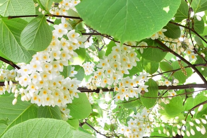 ハクウンボクは、5月~6月の初夏に穂状の白い花が垂れ下がるようにして開花する、エゴノキ科の落葉高木です。咲いている花の姿が白雲に例えられることが名前の由来です。  エゴノキと花が似ていますが、見分け方は「葉の形状」で見分けることができます。ハクウンボクの葉の形は、エゴノキより大きく丸い形をしています。丸くて面積がある葉はとても目を引き、葉の色が明るい緑色のため、開花中は白い花との色合いがとてもさわやかな印象です。花が美しい高木のため、公園や街路樹として植栽されています。