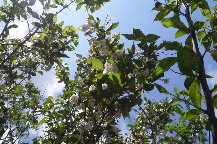 学名:Styrax japonica 科名、属名:エゴノキ科エゴノキ属 分類:落葉高木 別名:チシャノキ、ロクロギ、セッケンノキ、ドクノミ エゴノキの特徴 エゴノキは日本や中国、朝鮮半島の山野や庭園などに見られる落葉高木です。樹高は7~8m、大きなものは10mを越すこともあります。木肌の色は灰褐色で、縦に細い筋が入っています。  エゴノキは直径2㎝程度の小さな白い花を枝から下げるように咲かせる姿が美しくシンボルツリーとして人気があります。