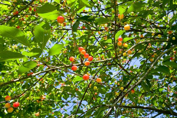 分類:落葉高木 結実期:5月~7月 サクランボは春に桜の花を咲かせ、初夏に結実する、バラ科の落葉低木です。サクランボという名前は桜ん坊のことで、名前の通り桜の果実です。ただし、すべての桜の果実が食べられるわけではなく、サクランボが実る品種というものがありますので、購入時に確認してください。