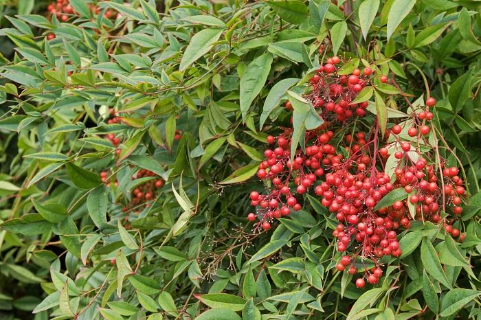 分類:常緑低木 結実期:11月~2月 ナンテン(南天)は冬に色付く赤い実が印象的な、メギ科の常緑低木です。冬の寒い最中に赤果実を実らせることから、縁起がよいとされ、庭木として人気があります。お正月飾りにもよく利用されます。