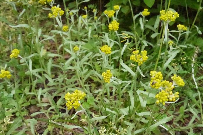 科名:キク科 開花期:4~6月 分類:越年草 ハハコグサは春に淡いクリーム色の花を咲かせます。ハハコグサの花は、小さな粒のような花が密集し直径1~2㎝の塊となって咲きます。別名ゴギョウとも呼ばれ、春の七草として知られています。