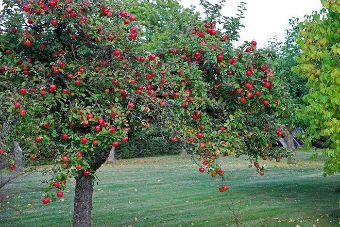 分類:落葉高木 結実期:9月~11月 リンゴは春に桜に似た花を咲かせ、秋に真赤な実を付ける落葉高木です。果樹として人気があります。食用になるリンゴは正確にはセイヨウリンゴという種類です。