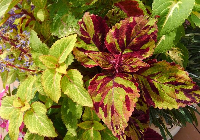 コリウスは品種が豊富でダークな赤色からライム色まで様々な色合いがあります。花を咲かせると葉色が悪くなってしまうので、美しい葉色を楽しむ場合は蕾をカットして葉だけの状態で育てましょう。
