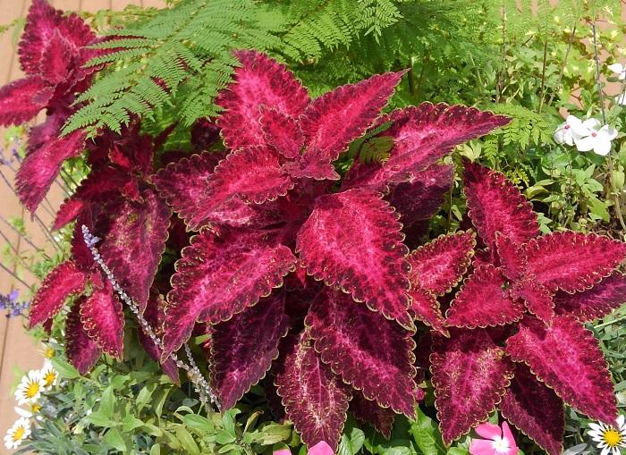 シソ科 非耐寒性多年草  草丈:20~70㎝  コリウスは、初夏から秋に大活躍するカラーリーフ。日なた~半日陰を好みます。本来は多年草ですが、寒さに弱いので日本では一年草として扱われています。コリウスの葉色はとても鮮やかで花に負けない華やかさがあります。