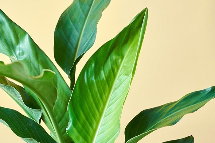熱帯の植物らしい光沢のある大きな葉が特徴のストレリチア。ちょっとした南国気分が味わえる人気の観葉植物。トロピカルな雰囲気と見た目の美しさで、お部屋を癒しの空間にしてくれます。