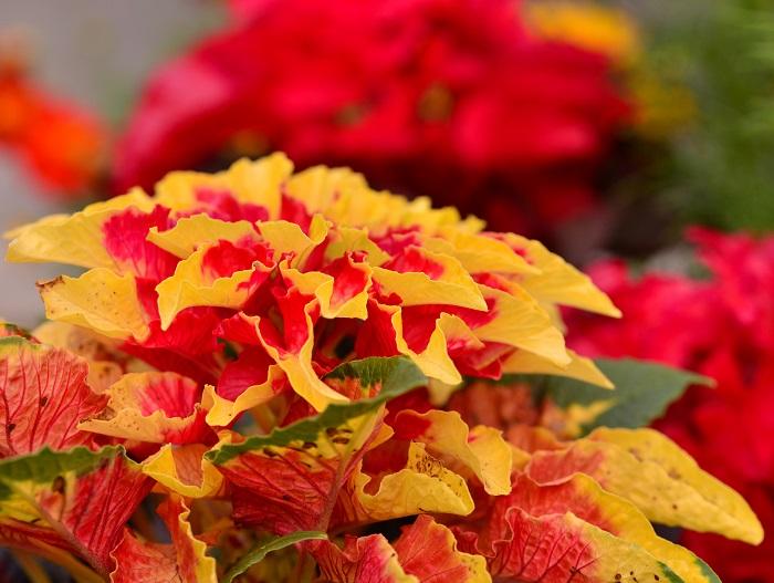 ヒユ科  非耐寒性多年草  草丈:1~1.2m  ハゲイトウ(葉鶏頭)は、夏から秋に華やかな葉を楽しむカラーリーフ。秋が深まって気温が下がるとさらに葉が強く色づきます。丈夫で育てやすく、花壇を色鮮やかに演出してくれます。ハゲイトウ(葉鶏頭)は熱帯性の植物なので耐寒性がなく、霜が降りると枯れてしまうため一年草として扱われています。