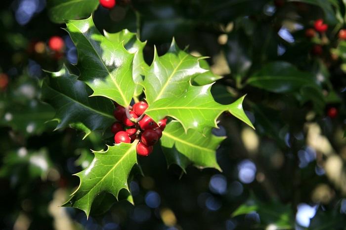 分類:常緑高木 結実期:11月~1月 セイヨウヒイラギはヒイラギに似たギザギザとした葉を持つ、トチノキ科の常緑高木です。冬に赤い実を付けます。光沢のあるグリーンの葉と赤い実のコントラストが美しい庭木です。セイヨウヒイラギは、果実がクリスマスの頃に赤く色付くことから、クリスマスホーリーという別名もあります。