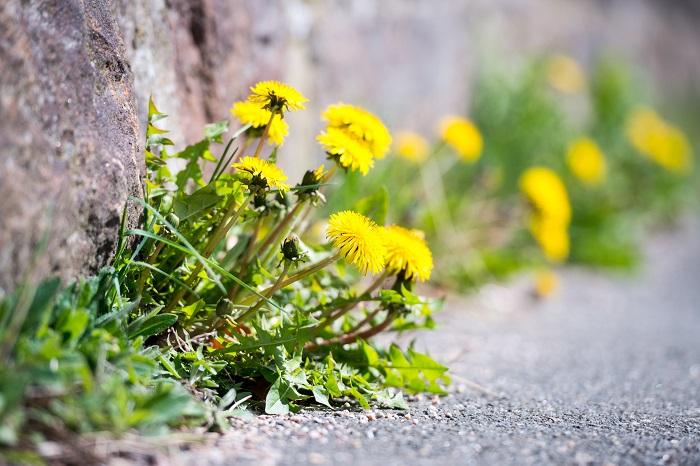 科名:キク科 開花期:3~5月(環境があえば四季咲き) 分類:多年草 タンポポは春を代表するような明るい黄色の花を咲かせるキク科の多年草です。道端や河原、路地、コンクリートの隙間等、様々な場所で見かけます。タンポポの花色は黄色の他に白、園芸種にモモイロタンポポ等があります。