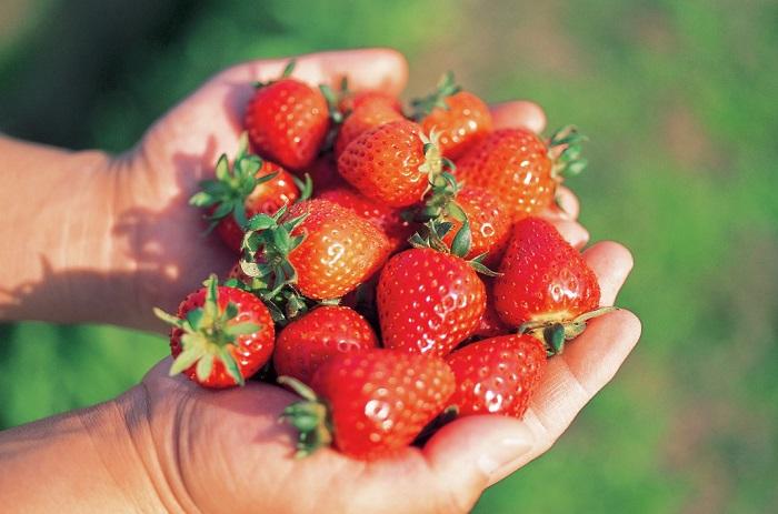 秋にイチゴを植えれば、生長や花を楽しみながら、春にはおうちでイチゴ狩りが楽しめます♪  今回おすすめするイチゴは、「一季なりイチゴ」と「四季なりイチゴ」。「四季なりイチゴ」は春だけでなく、春~秋まで長く収穫できるイチゴで、初心者にもおすすめです。  編集部のバルコニーでも、同じイチゴを育てる様子をインスタグラム等で随時お伝えする予定なので、ぜひ一緒に育てて収穫しませんか?