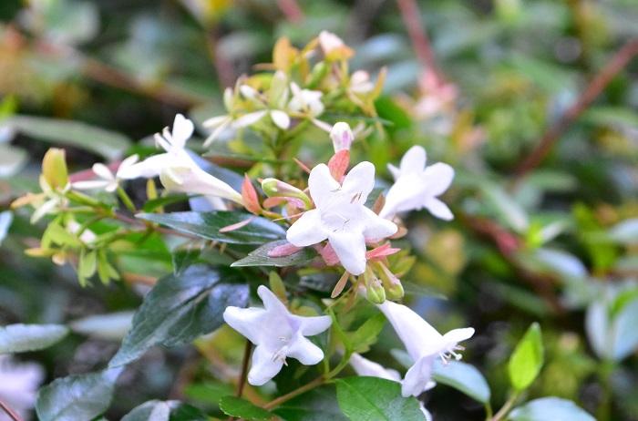 アベリアの香りをご存知ですか?アベリアにはとっても控え目な芳香があります。  アベリアは枝の先にいくつかの花を固めるように咲かせます。一つ一つの花の香りは弱いのですが、花の塊に顔を近づけて確認すると、ほんのりと優しい香りがします。