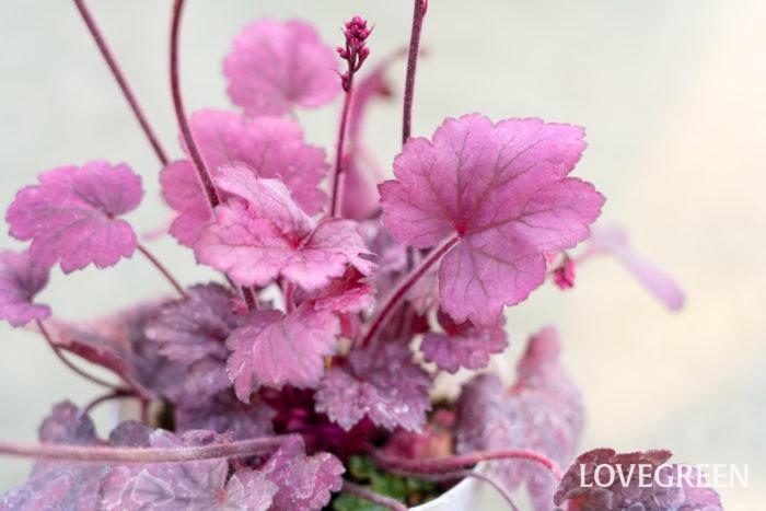ユキノシタ科 耐寒性多年草  草丈:20~30㎝  ヒューケラは暑さ寒さに強く、初夏に白やピンクの小花を咲かせ、冬も常緑でこんもりと茂ります。