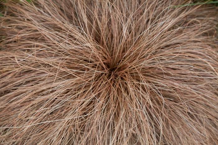 カヤツリグサ科 耐寒性多年草  草丈:20~60㎝  カレックスは細く長い葉が印象的なグラス類。ブロンズカラーのカレックスは他の草花との相性が良く、シックで落ち着いた雰囲気を演出できます。ブロンズ色の他に、深く濃い緑から明るいグリーン、斑入りまで様々な色があります。