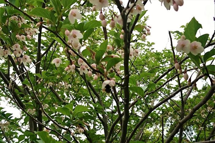 ピンクチャイムはピンク色の花を咲かせるエゴノキの園芸品種です。ベニバナエゴノキとも呼ばれます。ベニガクエゴノキに比べ、花全体がはっきりとしたピンク色をしているのが特徴です。