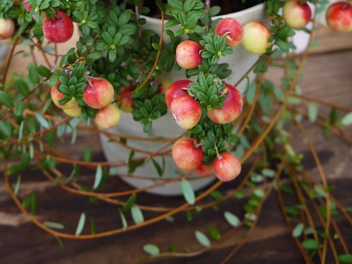 分類:常緑低木 結実期:9~10月 ツルコケモモはつるのように枝を伸ばす。ツツジ科の常緑低木です。春に小さな花を咲かせ、秋に結実します。赤く熟した実は直径1から1.5㎝程度。酸味が強く生食には向きませんが、ジャムや果実酒にして楽しめます。