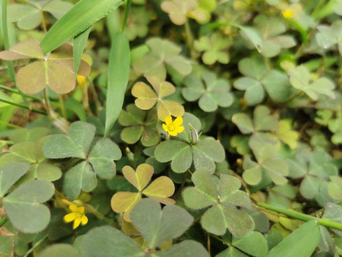 科名:カタバミ科 開花期:4月~10月 分類:多年草 カタバミの仲間は春になると、道端や公園、空地、あらゆる場所で咲いているのを見かける多年草です。黄色の小さな花と、クローバーを思わせるような4枚のハート型の葉が可愛らしい植物です。カタバミは家紋にもよく使われています。