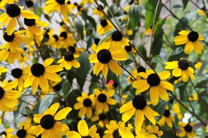 科名:キク科 開花期:6~10月 分類:一年草、多年草 ルドベキアは咲き進むに従い、花の中心部が大きく盛り上がる特性があります。ルドベキアの花色は黄色の他にオレンジに近い茶や白等があります。