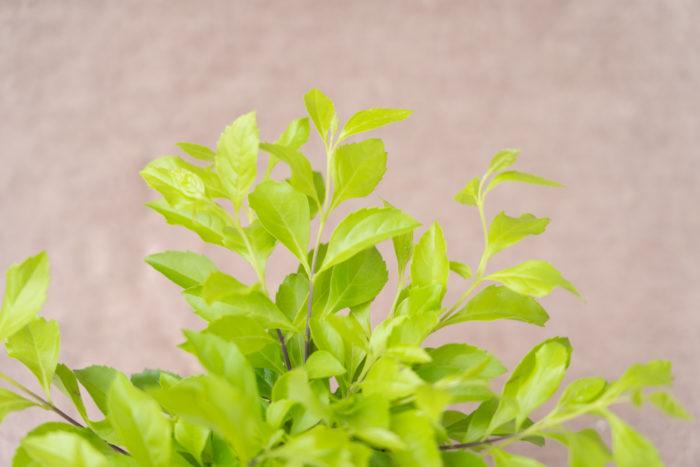 クマツヅラ科 非耐寒性常緑低木  樹高:15~150㎝  黄金葉のデュランタは、花が咲かない時期もその美しい葉色を楽しめます。暑さや乾燥に強く生育旺盛ですが、寒さにあまり強くありません。霜に当たらないように冬越し対策をすれば外で越冬できるので、暖地では庭木によく使われます。