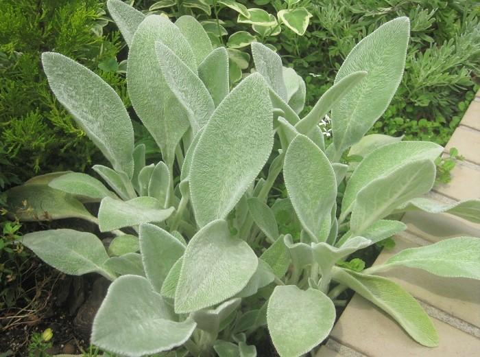 シソ科 耐寒性多年草  草丈:20cm  ラムズイヤーは、子羊の耳のようなふわふわした葉が可愛いシルバーリーフ。日なたと水はけの良い用土を好みます。高温多湿の蒸れを嫌うので、枯葉を取り除いて風通し良く育てます。長めの花茎の先端から付近の節に小さな紫色の花を咲かせます。美しい葉を周年楽しむためには、花後早めに花茎を切ることがおすすめです。
